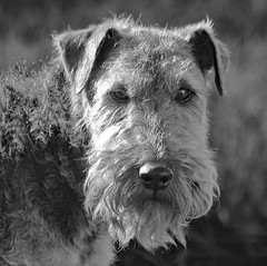 Welsh Terrier (Rennett Stowe) Tags: welshterrier dog dogs dogface face now nose ears dogears eye eyes stare dogstare nip blacknose intense intensedog wales floppyears whatup saywhat focus focused stayfocused friend loyal loyalty tremor tried tr transfixed hair mustache beard hairy hairyface creativecommons creativecommonsdog mouth mouthandnose doiknowyou hello prudent dogbreeds foxhound monochromedog monochrome blackandwhite blackandwhitedog portrait dogportrait portaiture flickrwelshterrier curleyhair curlyhair blackandwhiteportriat cute cuteface facialexpression expression turnedup pensive coolmustache