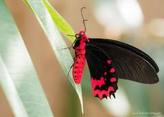 JM foto75-153 (janetankersmit) Tags: 2017 vlinders vlindertuin zutphen