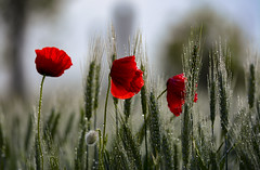 La primavera in Gocce (thomas.amicabile) Tags: flora fiori papaveri natura rugiada gocce macro water macros spring
