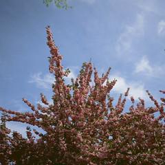Blossoms (slightheadache) Tags: 2017 analog botanicgarden brooklyn cherryblossomfestival cosplay cute film filmcamera fun kawaii mamiya mamiya6mf nybotanicgarden nyc newyorkcity party sakura sakuramatsuri velvia velvia50 characters color woman
