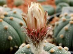 Astrophytum asterias (Zucc.) Lem. (Skolnik Collection) Tags: astrophytum asterias zucc lem skolnik collection mexico succulent