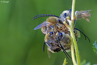 Long horned bees sleeping