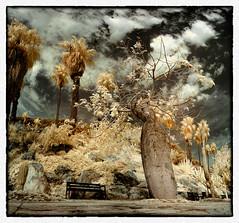 Costa i Llobera #007 (Ar@lee) Tags: barcelona catalunya jardinescostaillobera montjuïc fullspectrum fotografíainfrarroja photographyinfrared nikond50 cactus plantassuculentas d50 filter720nm paisaje airelibre bordeparafotos palmera árbol barcelonaexperience colours clouds nubes espectrecomplet garden ir panorámica sky trees