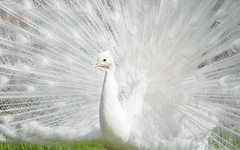 white peacock (07) (Vlado Ferenčić) Tags: peacock whitepeacock italy piedmont piedmond lakemaggiore isolabella nikond600 birds vladoferencic vladimirferencic animals animalplanet nikkor8020028