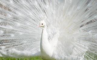 white peacock (07)