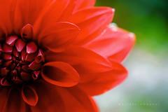 Red (Daniela Romanesi) Tags: 6897 flower dalia red vermelho vermelha petals pétalas nature natureza green flor flores floral
