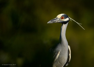 Yellow crowned Night-heron