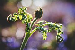 Contortion (SimonTHGolfer) Tags: fern bracken plant nature bokeh spring green growth matte suffolk uk eastanglia nikon