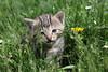 IMG_2017_05_12_5612 (gravalosantonio) Tags: gata gatita huerta cat