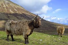 BO GHAIDHEALACH, ISLE OF SKYE  -  (Selected by GETTY IMAGES) (DESPITE STRAIGHT LINES) Tags: heilancoo highlandcow highlandcows kyloe cow cattle heilancoosinscotland highlandcattleinscotland horns day cloud landscape nikon d800 nikond800 nikon2470mm nikkor2470mm paulwilliams despitestraightlines flickr getty gettyimages highlands scottishhighlands boghaidhealach brindled fur grass field pasture farm farming hoof hooves dof photo photography frame raw image animal sconser luib lochainort isleofskye lochsligachan lochcairidh gettyimagesesp despitestraightlinesatgettyimages paulwilliamsatgettyimages