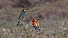 European Bee-eater (keynowski) Tags: europeanbeeeater arıkuşu meropsapiaster nature ngc animalplanet animal bird canon70d canonef400mmf56lusm