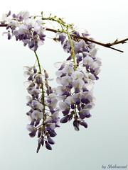 Blauwe regen EXPLORED! (Shahrazad26) Tags: blauweregen wisteria emmashof regentessekwartier denhaag sgravenhage thehague lahaye holland nederland thenetherlands paysbas