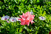 Rose (zulkifaltin) Tags: konya mevlana gezi camii turkey manzara landscape macro çiçek flowers beautiful mor yeşil pembe love aşk gül rose pink türbe