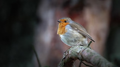 An European Robin on a branch (Franck Zumella) Tags: robin redbreast rouge gorge rougegorge red bird oiseau branch branche tree arbre light lumiere spot rayon small petit forest foret