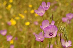 (wickedhair) Tags: wickedhair wendielou wildflower wildflowers flower fleurs flowers flora fiori sierranevada d7000 california color nikon nature nationalparks mountains macro landscape landscapes petals pink green fairwelltospring