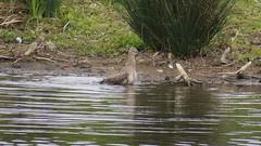 Curlew (hedgehoggarden1) Tags: bto birds rspb norfolk eastanglia uk canon canonpowershotsx50hs bridgecamera britishtrustforornithology nature wildlife curlew