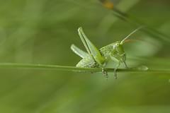 La nature et son petit monde (Doriane Boilly Photographie Nature) Tags: petite sauterelle verte petit monde nature prairie
