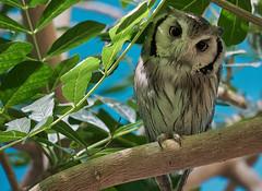 (Light Echoes) Tags: sony a6000 2017 spring april philadelphiazoo zoo philadelphia bird raptor strigiforme owl transformerowl r2d2