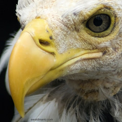 eye and beak (ewaldmario) Tags: macromonday macromondays eagle beak feather eye sad yellow white baldeagle weisskopfseeadler ewaldmario nikon moult mauser d800