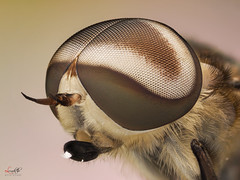 Horsefly (Le Anh The) Tags: horsefly stack railmacro flash manual portrait eyes background extreme explore extensiontube diffuser panasonic lumix g1 mirrorless 50mm reverse