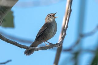 Cetti's Warbler  -  Seidensänger
