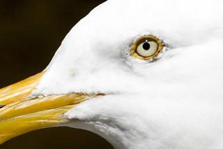 Gull Eye - Black, White and Gold