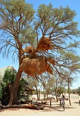 Sociable Weavers nest - the largest built by any bird! (One more shot Rog) Tags: weavers weaver weaverbird socialweaver namibia namibianbirds africa large nests nest wildlife nature birds onemoreshotrog rogersargentwidllifephotographytrees tree sociableweaverbird sociableweaver eresting marvellous