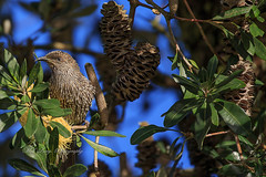 Little Wattle Bird(anthochaera chrysoptera) feeding in a Banksia integrifolia (Malcom Lang) Tags: little wattle bird anthochaera chrysoptera native banksia integrifolia coastal blue sky fauna natural tree flowering flower honey leaves eye beak feathers banksiamen nuts seeds branches green yellow canoneos6d canon canon6d canonef canon100400 canon100400ef 100400mm canonef100400 australia australian aussie southaustralia southern south southernaustralia mal lang photography ag ngc artsofnature