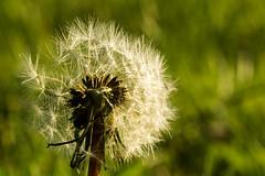 Dandelion (J-e-Y) Tags: dandelion pissenlit fleur extérieur tige stem flower printemps springtime spring macro sony alpha 6000 sigma 105mm apsc scotland ecosse