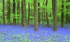 Bluebell time! (howard.carshalton) Tags: bluebells woods angmering sussex blue green hyacinthoides nonscripta