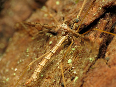 Spectacled Crane Fly