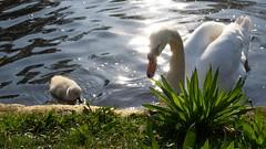 Life Lessons (Daphne-8) Tags: swan animal water lake bird vogel wasser swimming cygne schwan tier