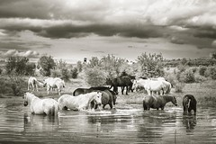 Horses (frantiekl) Tags: horses rural natur outside landscape water clouds bw blackwhite 50mm pasture pond herd may monochrome bnw countryside horse