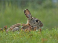 I see you... (libra1054) Tags: rabbit conejo lapin coniglio coelho kaninchen animals