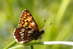 Duke of Burgundy (Giant Hill) (Steve Balcombe) Tags: butterfly riodinidae metalmark hamearis lucina dukeofburgundy male gianthill cerneabbas dorset uk