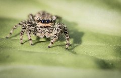 Jumping Spider (dunderdan77) Tags: spider spindel djur outdoor utomhus nikon tamron nature natur sweden sverige wildlife