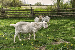 Happy Goats (gabi-h) Tags: goats animals livestock fence fencefriday dandelions grass gabih grazinginthegrass princeedwardcounty rural rustic farm localstore ontario agriculture