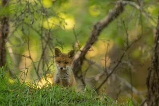 déjà une bonne tête de renard