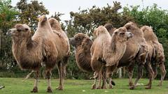 WMSP Bactrian Camel (2) (Daz James Photography) Tags: westmidlandsafaripark safari bactriancamel
