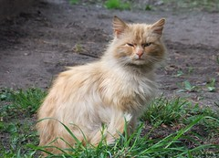 DSCF4715 (lmtcats) Tags: belarus s200exr fujifilm cat straycat peach serious strict suspicious