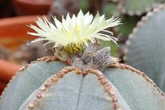 Astrophytum myriostigma (nitedojo) Tags: nitedojo haage openday astrophytum myriostigma