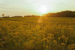 Spring Time in Ohio. (+Lonnie & Lou+) Tags: sunshine ohio flowers sky sony travel usa nisi clouds yellow landscape spring rural nature field