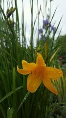 (Iggy Y) Tags: lilium spring blossom flower yellow color green leaves ljiljan žuti lily day light sky drop drops rain