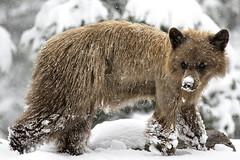Time to Den again? (Patty Bauchman) Tags: blackbear bear cinnamoncoloredblackbear bearinsnow springsnow nature wildlife montana bigskymt montanaspring
