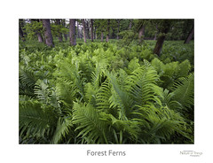 Forest Ferns (baldwinm16) Tags: il illinois may themortonarboretum environment forest habitat landscape midwest nature season spring woodland woods natureofthingsphotography