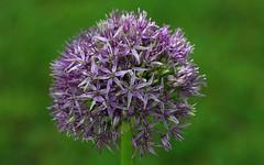 Allium Globemaster 180517 (1) (Richard Collier - Wildlife and Travel Photography) Tags: flora flowers flowersenglishflowers macro gardenflower naturethroughthelens