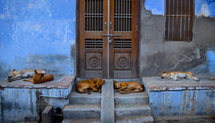 The morning after... (Rick Elkins) Tags: dog dogs sleeping lyingdown india village narlai rajasthan steps building blue door dreaming tired