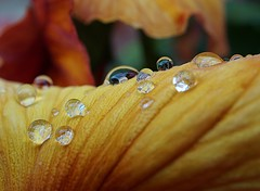 pansy petal with raindrops (quietpurplehaze07) Tags: smileonsaturday waterdroplets pansy petal orange raindrops macro