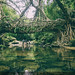 Living root bridges - 2