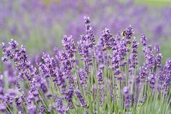 DSC02234 (denn22) Tags: ilce7rm2 a7rm2 thun be canon denn22 june 2017 fd 85mm 118 fd85mm1118 schweiz switzerland ch flower lavendel commonlavender lavandevraie